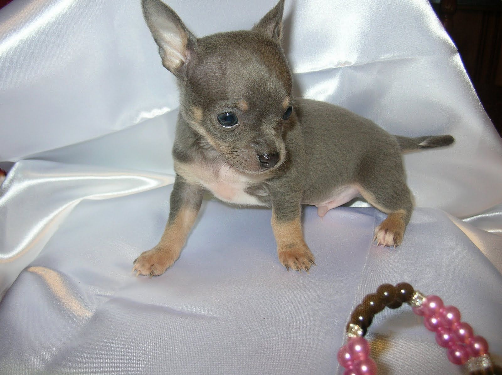 Applehead Chihuahua Puppies Apple Head And Nice Build He Also