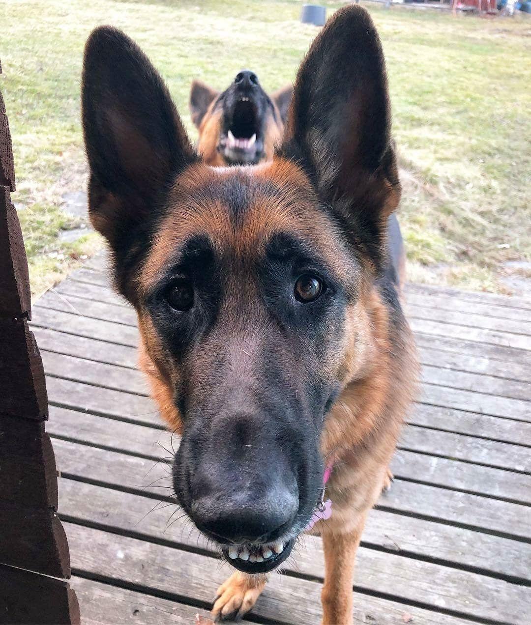 Topi The Dog Germanshepherds Gsdmalinoislove