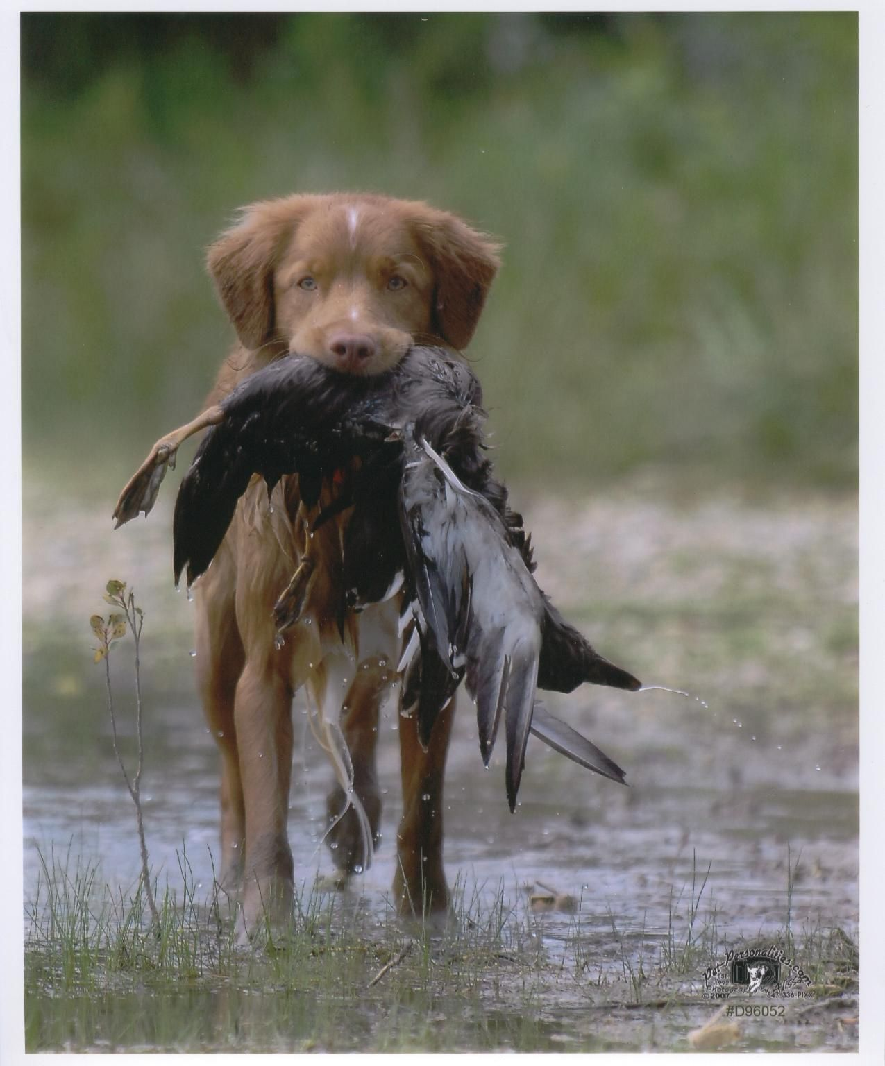 Wet+Dux2.jpg (1275×1536) Puppies, Puppy pictures, Dogs