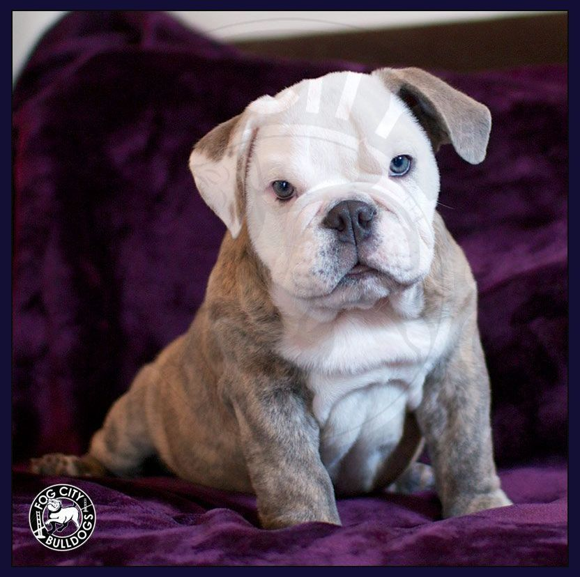 Learning the Peculiarities of English Bulldog Puppies Before Making That Crucial Decision