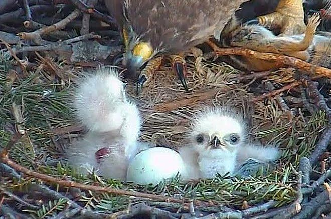 Watch An Adorable Baby Red Tailed Hawk Hatch Live On Nest Cam Red Tailed Hawk Baby Animals Baby Animals Super Cute