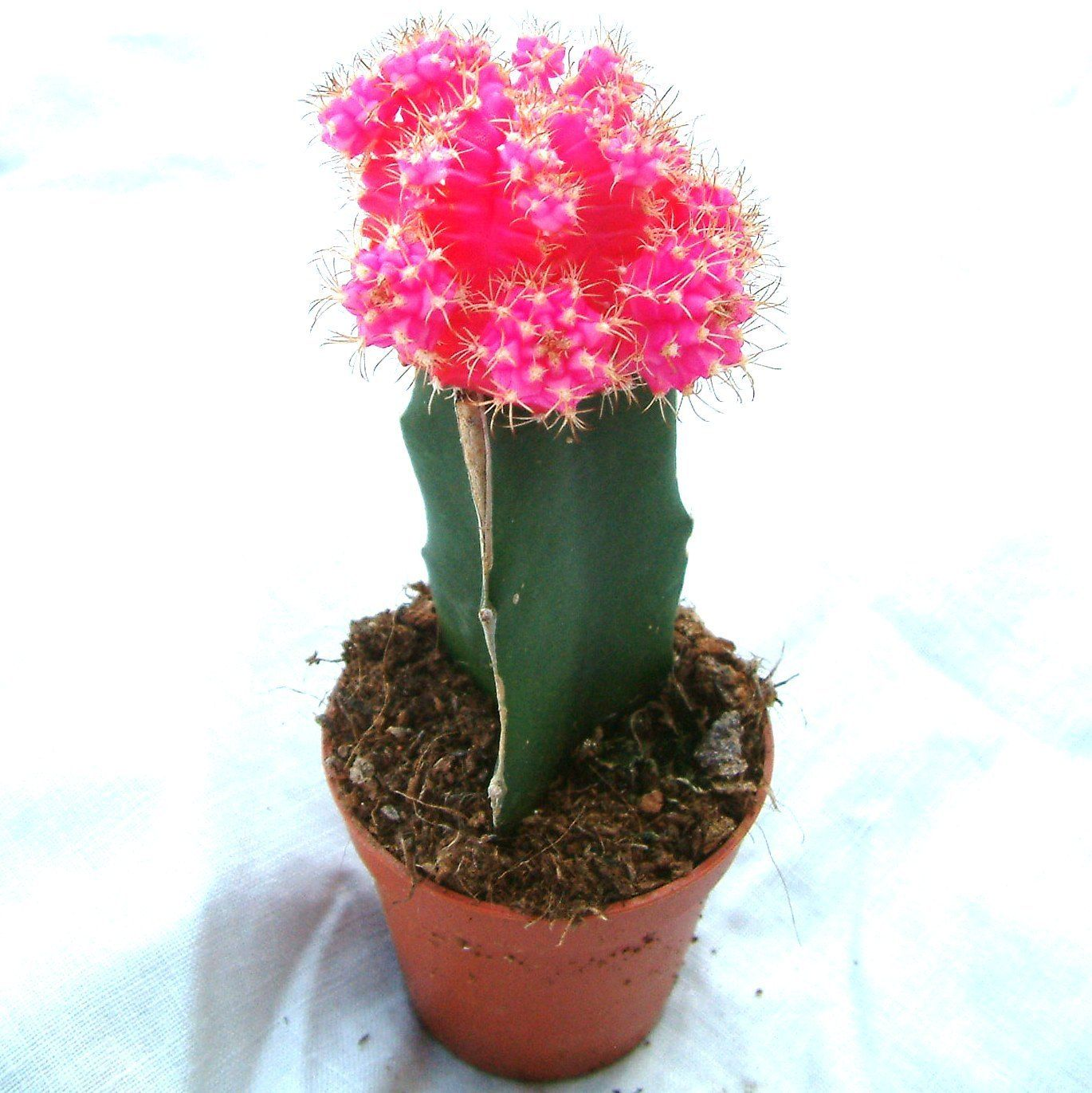 Pink Cactus Plant Ikea Cactaceae Grafted Cactus Grafted Cactus