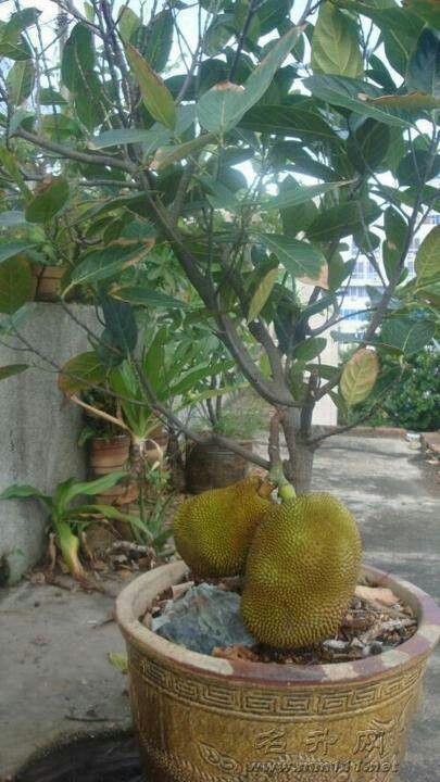 Jackfruit Plant In A Pot Berkebun Di Kota Taman Buah Tanaman Pot