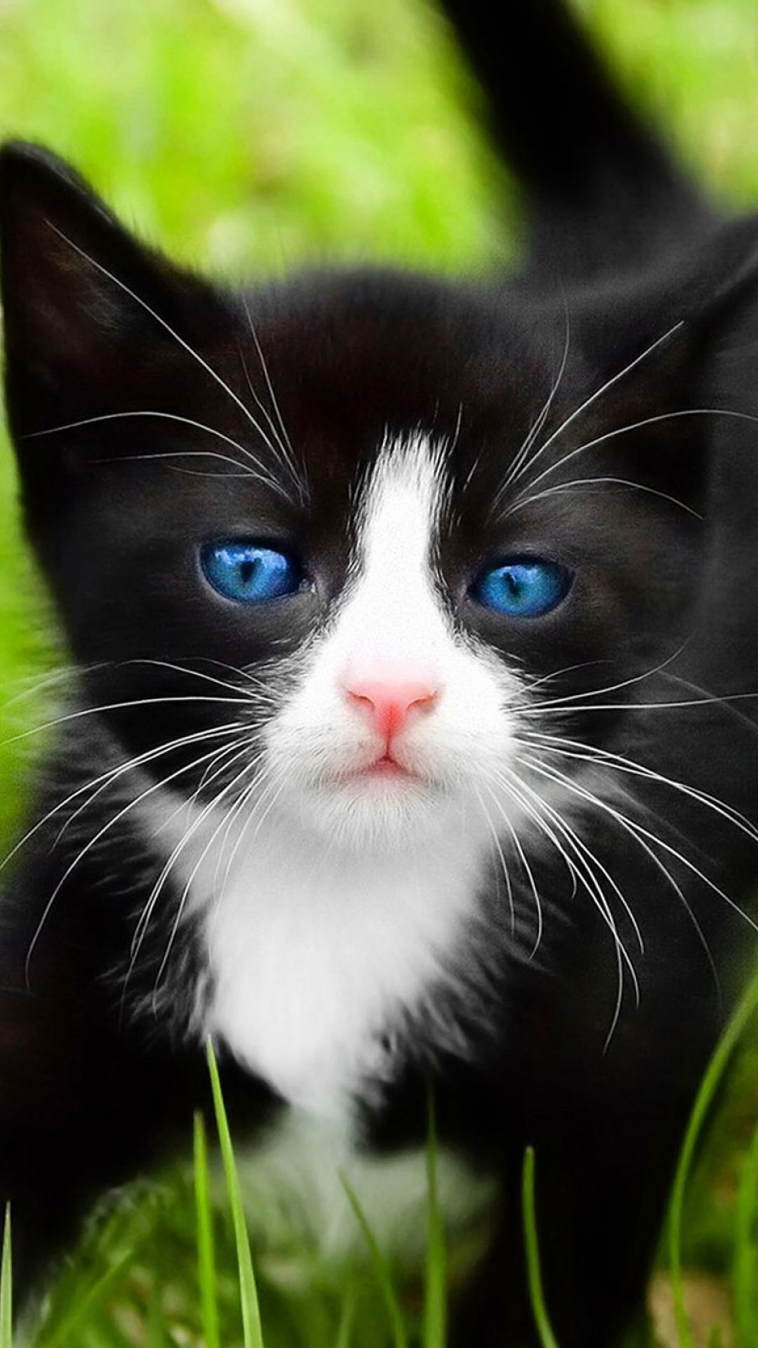 I Will Take This Blue Eyed Baby Tux Beautiful Cats Kittens Cutest Black And White Kittens