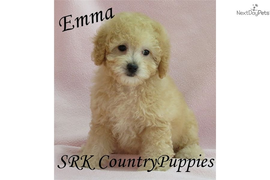 Poodle toy puppy for sale near fort dodge iowa