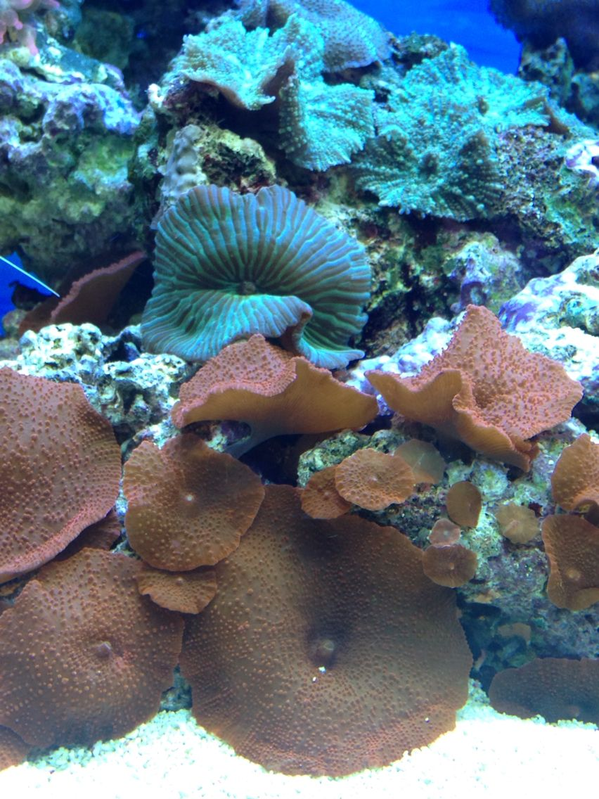 Mixed Mushroom Corals Red And Green Striped Watermelon Mushroom Coral Reef Aquarium Coral Reef Aquarium Reef Aquarium Stuffed Mushrooms
