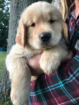 Litter Of 9 Golden Retriever Puppies For Sale In Cranston Ri Adn
