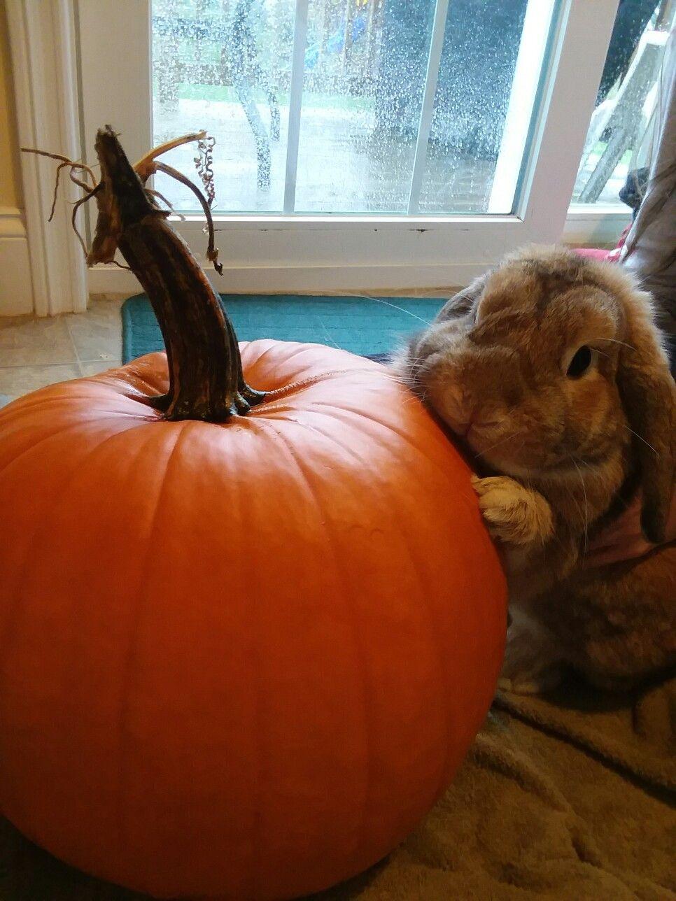 Bunny Pumpkin with a pumpkin