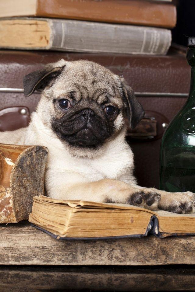 Book Pug Pugs Pugs Kisses Cute Pugs
