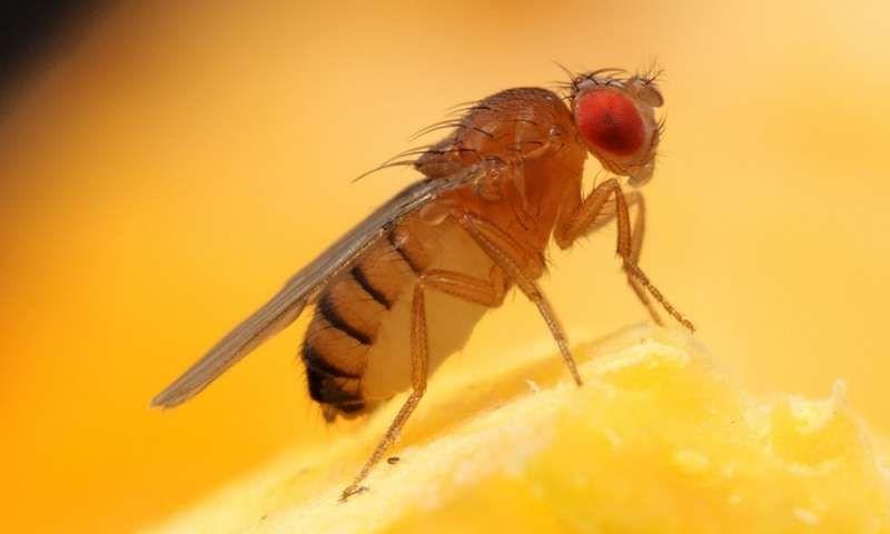 How to get rid of fruit flies fruit flies fruit