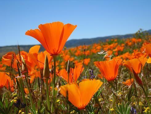 Californias state flower golden poppy california pinterest californias state flower golden poppy mightylinksfo