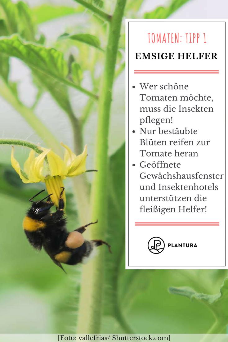 10 Tipps Zur Perfekten Tomate Aus Dem Eigenen Garten Garten Bienenfreundliche Pflanzen Und Pflanzen