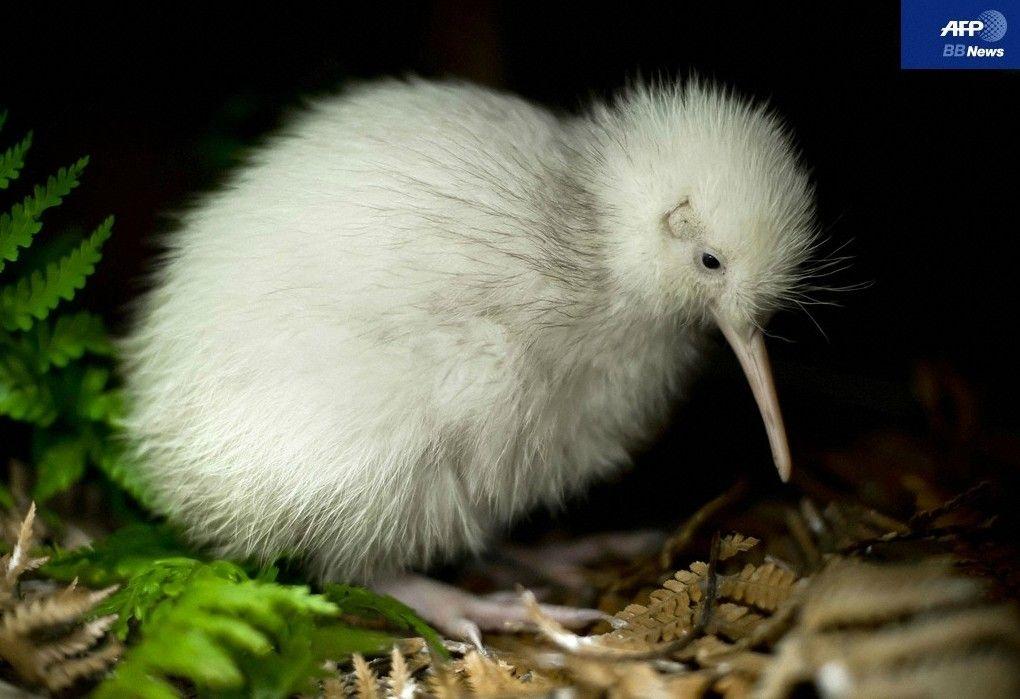 珍しい鳥キウイ - Google 検索   希少動物. ペットの鳥. 動物 寫真