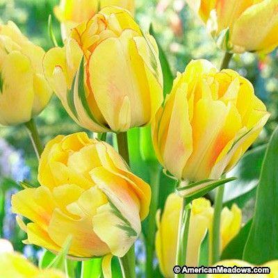 Akebono Darwin Tulip Planting Tulips Bulb Flowers Tulip Seeds