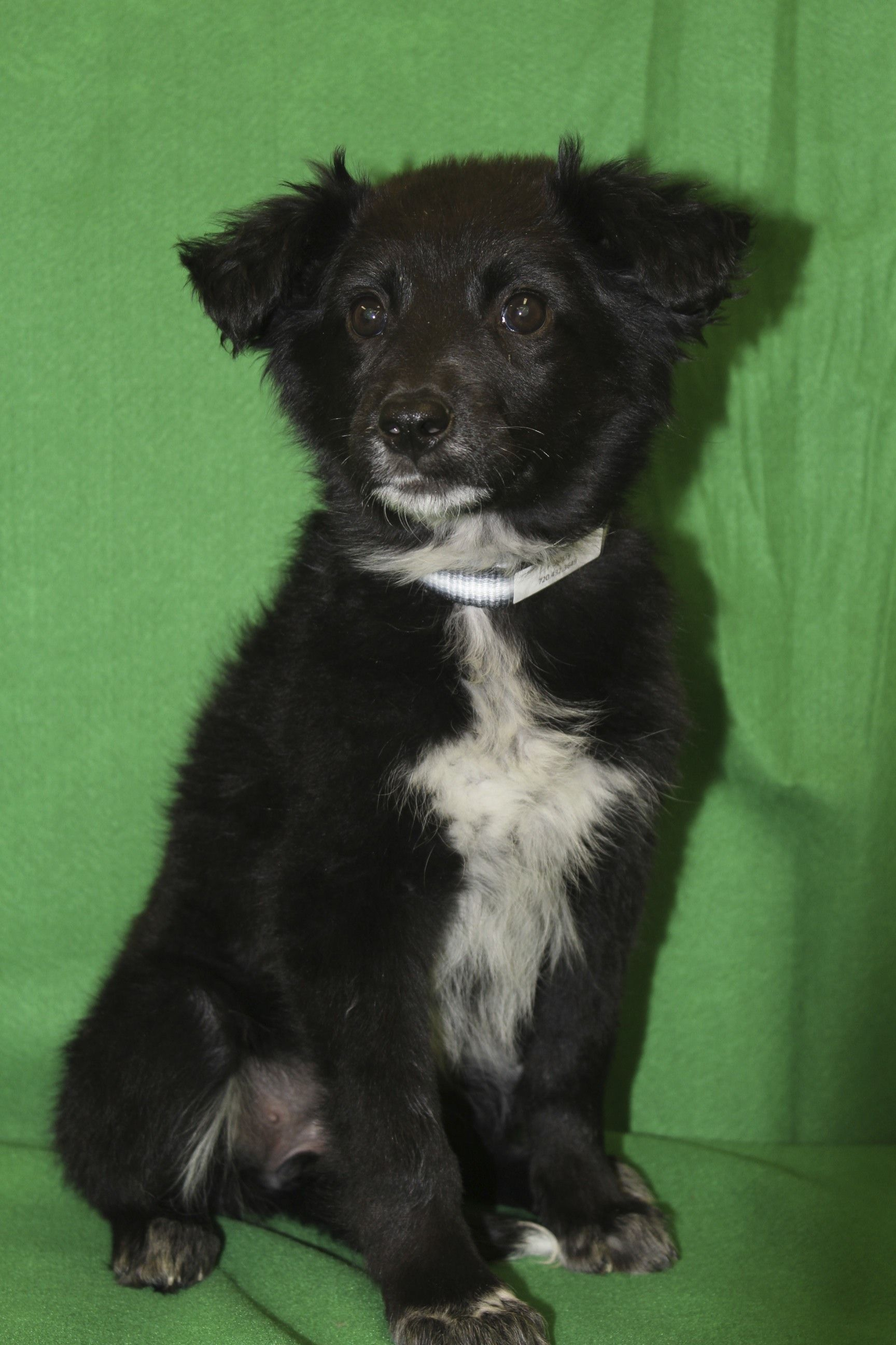 Poppy, an adoptable Border Collie mix in Broomfield, CO