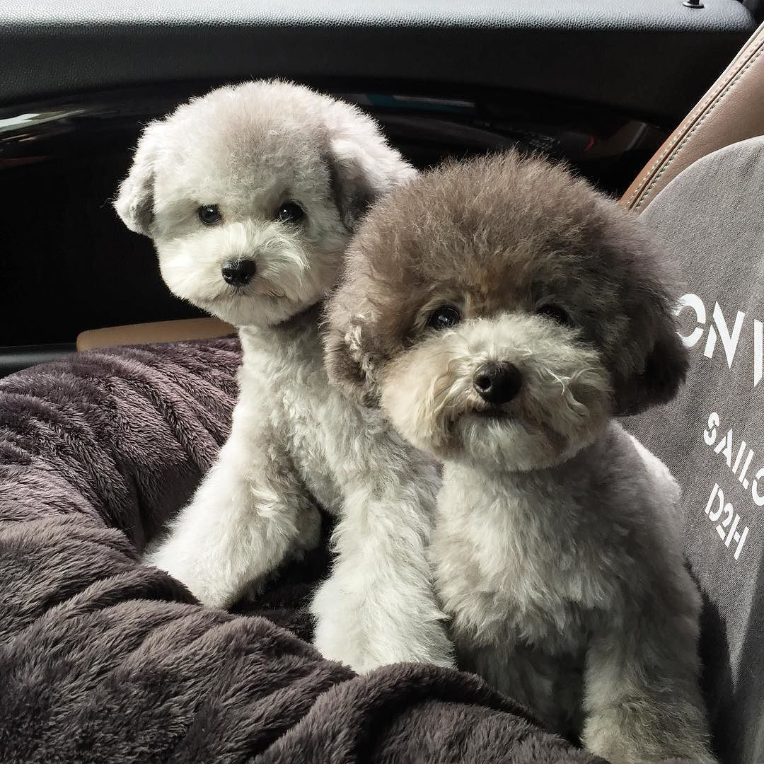 . They are silver toy poodles . I don't sell my dogs