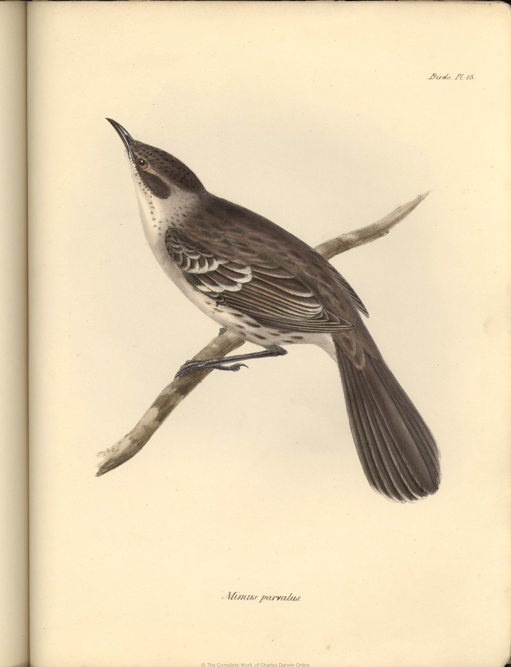 Galápagos Mockingbird collected by Charles Darwin and illustrated by ...