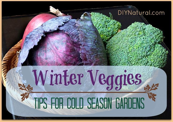 Winter Vegetable Garden | ... winter vegetables | Winter Vegetables - Tips For A Cold Season Garden