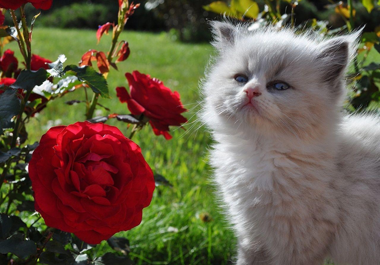 Katze Rosen Flaumig Kätzchen Katzenjunges Tiere Blumen