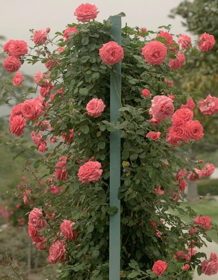 America Climbing Rose Is This Aka American Pillar Rose Garden Projects Garden Inspiration Climbing Roses