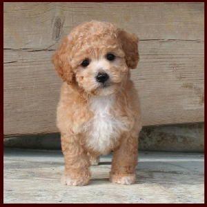 Bichon Poodle Puppies For Salepoochondog Breedersiowa Poochons