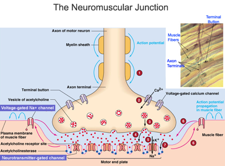 exocytosis and the neuromuscular junction • the neuromuscular junction is the place where the terminal portion of a motor neuron axon meets a muscle cell membrane, separated by a synaptic cleft • an action potential arriving at the axon terminal brings about the release of acetylcholine, which.