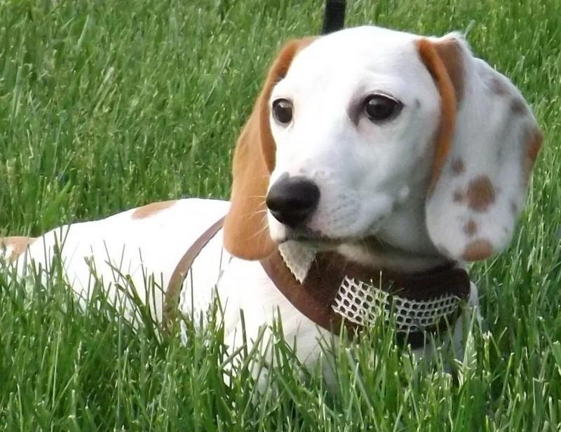 Adopt Augie on Dachshund puppy, Puppy pictures, Puppies
