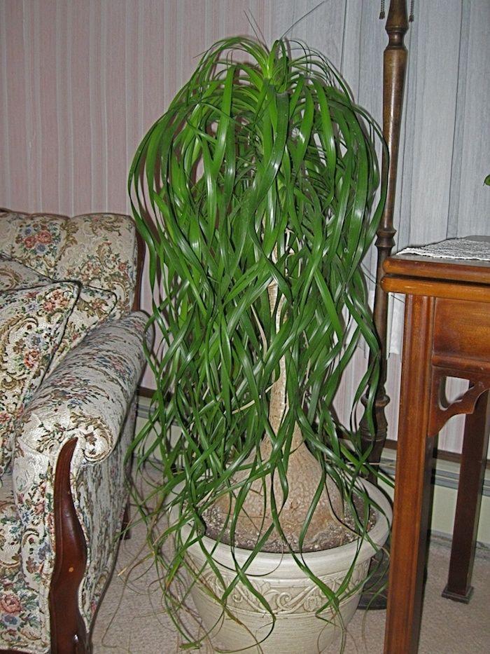 Schattige Zimmerpflanzen elefantenfuß großer baum im wohnzimmer zwischen sofa und tisch