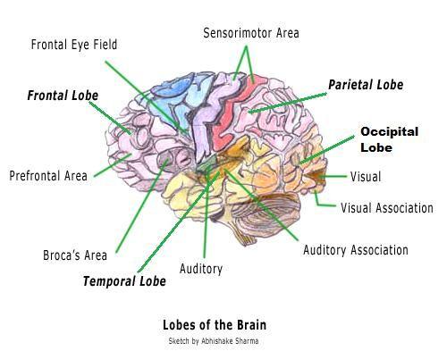human brain diagram, brain lobes, occipital lobe, the better angels, brain  facts