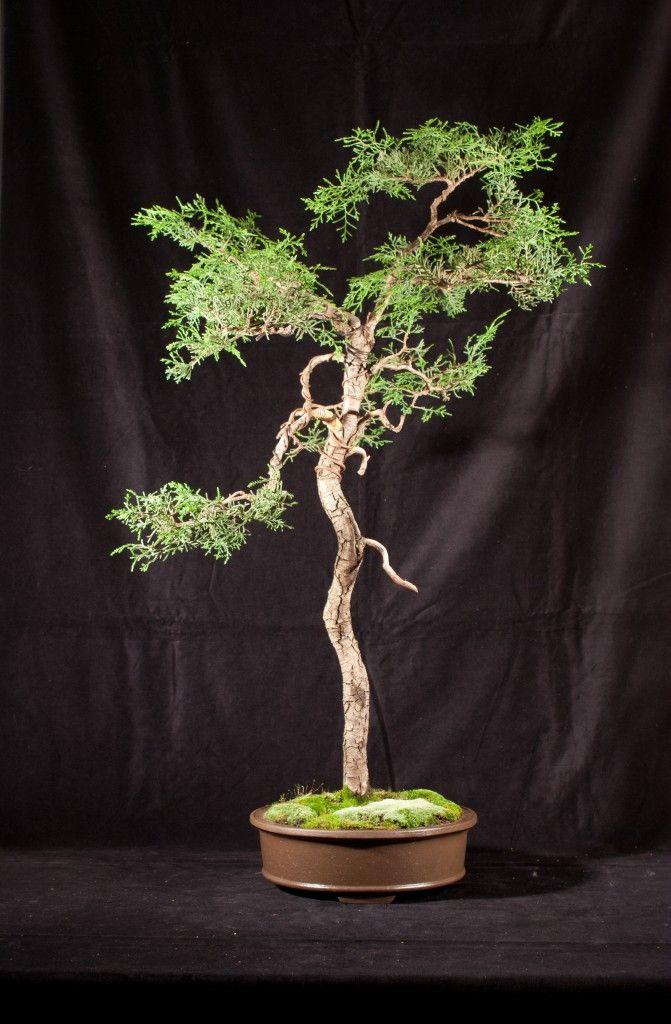 Monterey Cypress Cupressus Macrocarpa The Golden State Bonsai Federation Bonsai Tree Monterey Cypress Bonsai