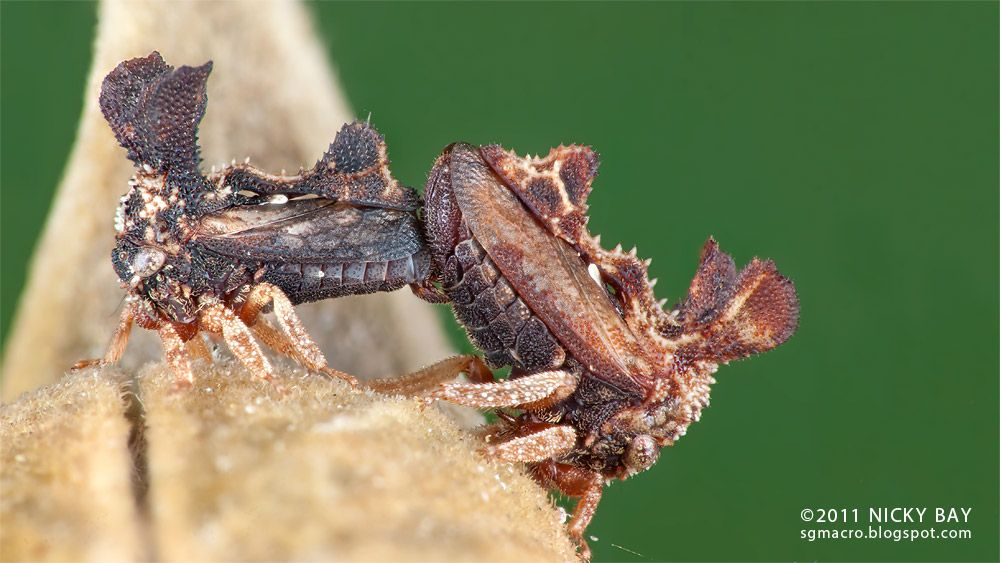 Two Treehoppers Mating Insect Collection Weird Animals Insects