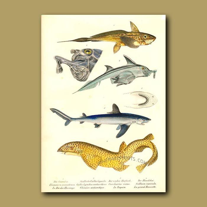 Rabbit Fish, White Pointer Shark and Dogfish