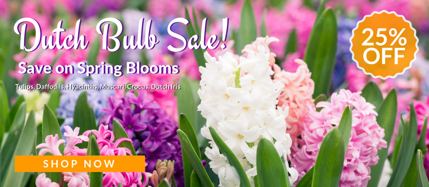 Allium ampeloprasum spanish allium so green my plants easy to grow bulbs buy flower bulbs online izmirmasajfo
