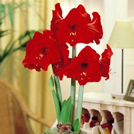 Amaryllis Red Lion Bulb Flowers Amaryllis Hollyhocks Flowers