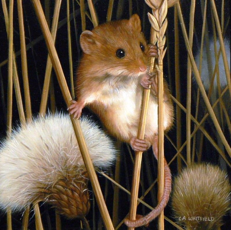 Pin By Ellen Bounds On Sketches Of Dormice Mice And Rats