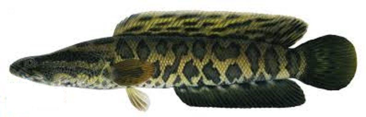 Art Illustration Lakes Freshwater Fish Channa Argus Northern Snakehead It Is A Predatory Fish Native To So Snakehead Fish Fishing Trip Freshwater Fish