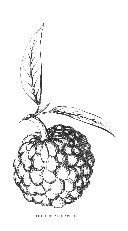 Vintage Clip Art Custard Apple from grafficalmuse.com   Vintage ... for Custard Apple Clipart Black And White  59jwn