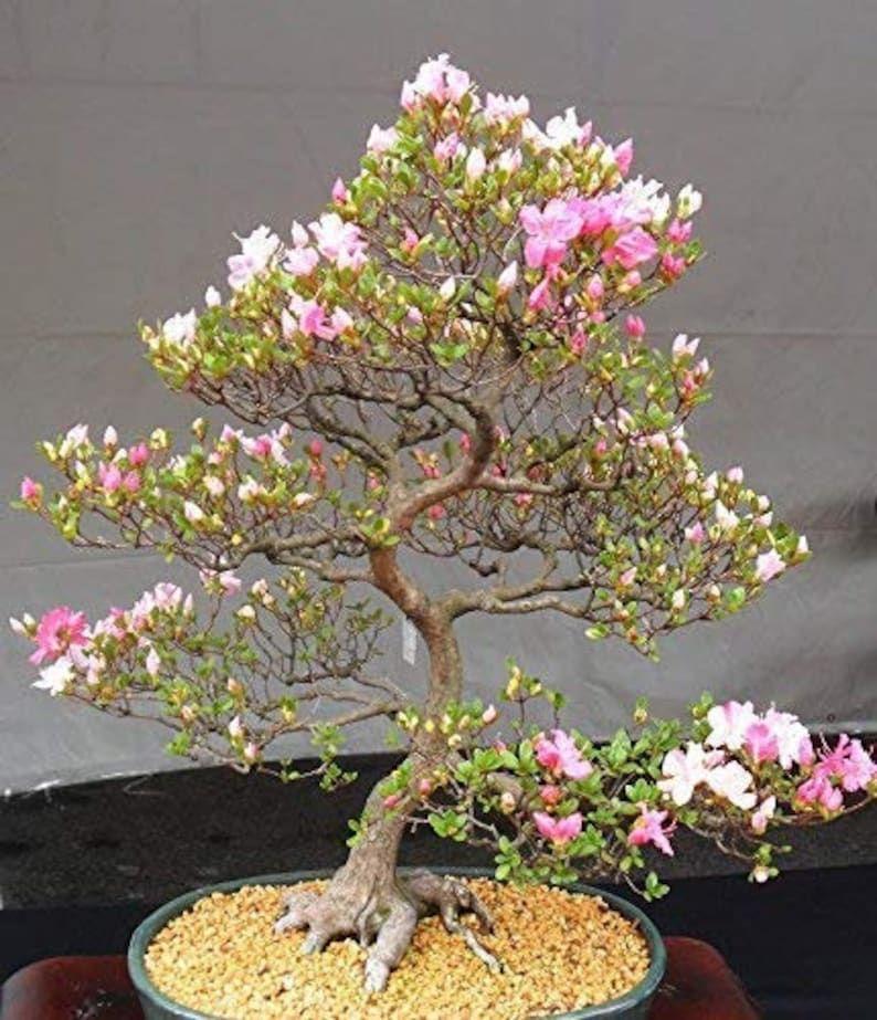 Japanese Cherry Blossom Bonsai Tree Seeds 10 Pack Flowering Sakura Bonsa In 2021 Cherry Blossom Bonsai Tree Pink Flowering Trees Bonsai Flower