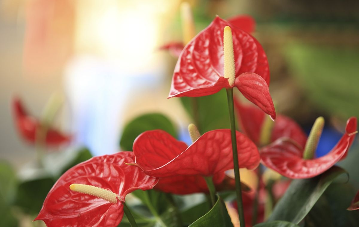 List Of Flower Names With Their Meanings And Alluring Pictures Cat Safe Plants Flowers Name List Anthurium