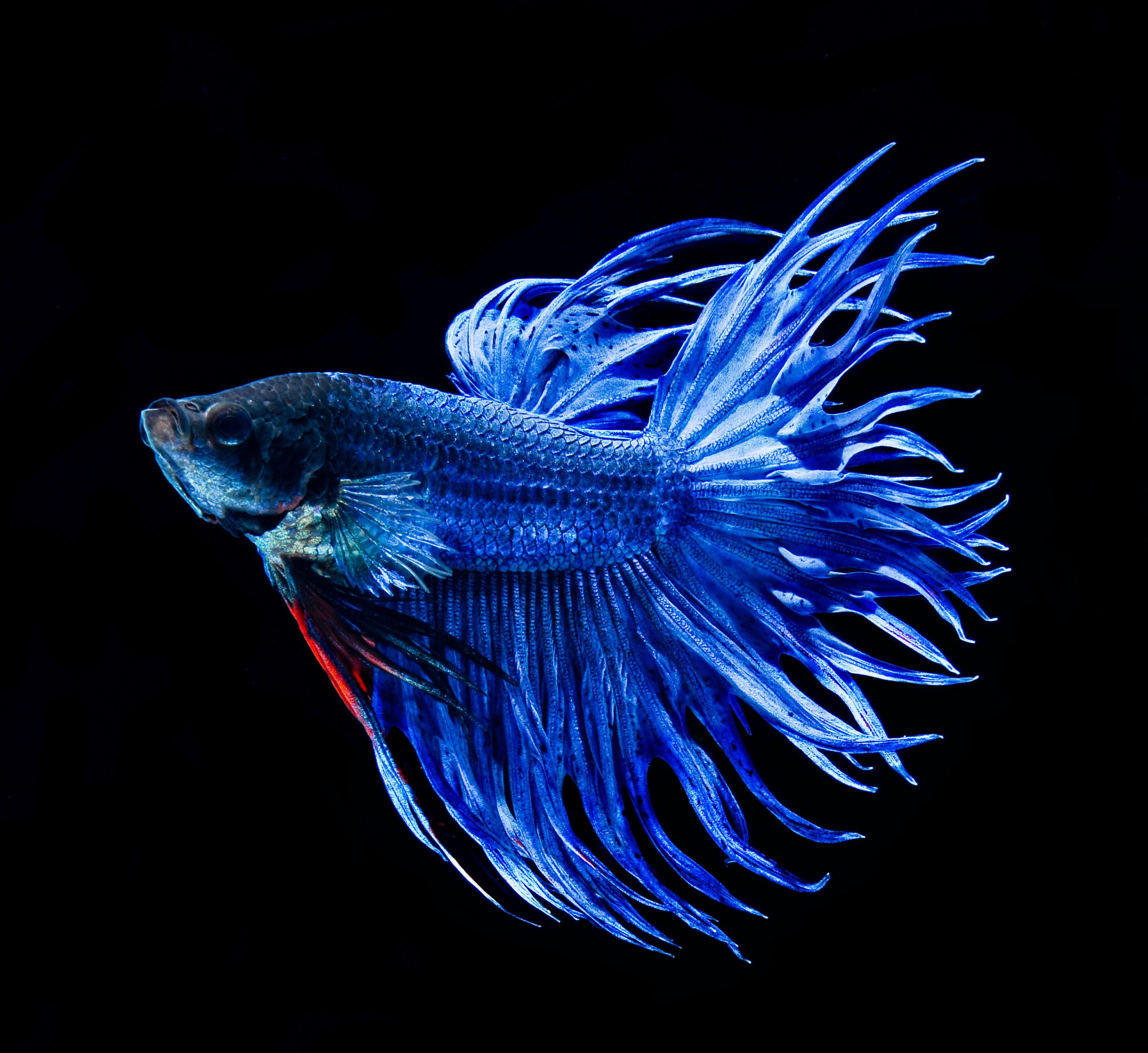 blue crown tail betta fighting betta fish pinterest