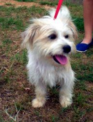 Adopt Terry On Cairn Terrier Mix Parson Russell Terrier Pet