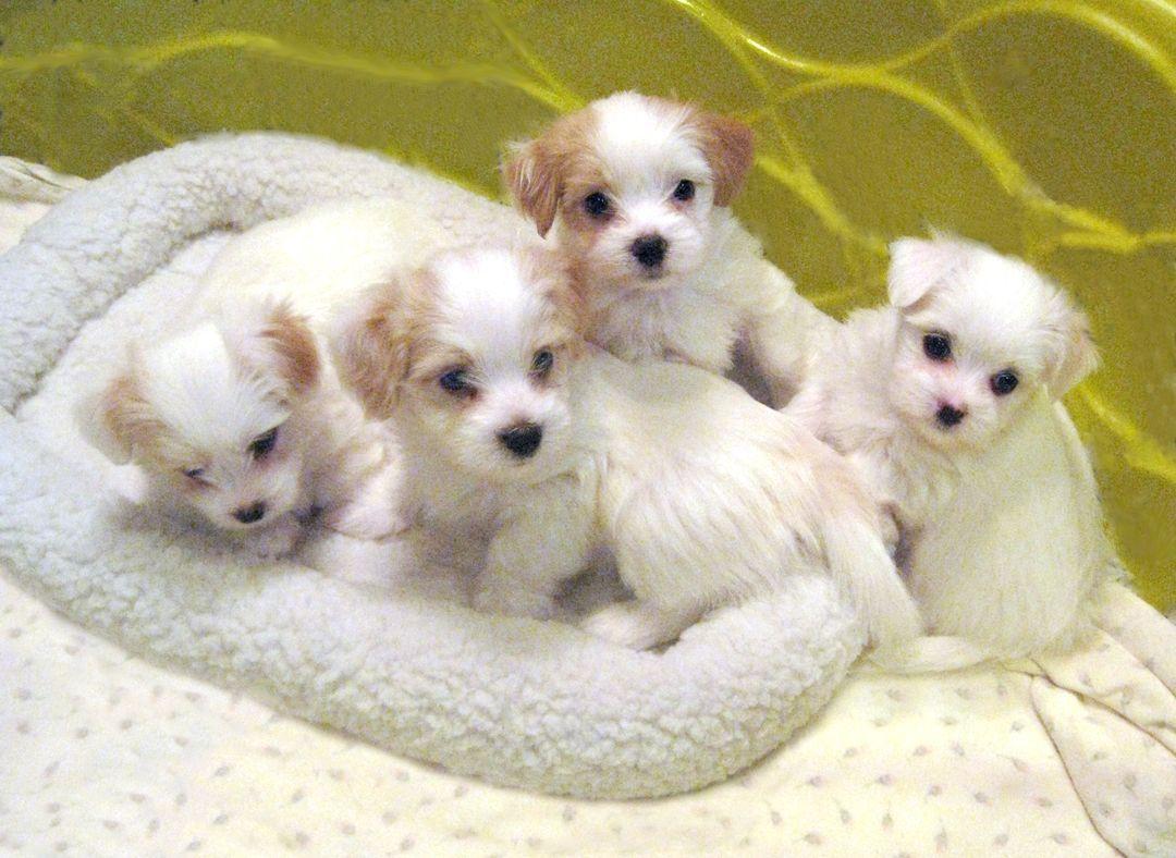 Havanese Dogs Puppies Havanese Puppies