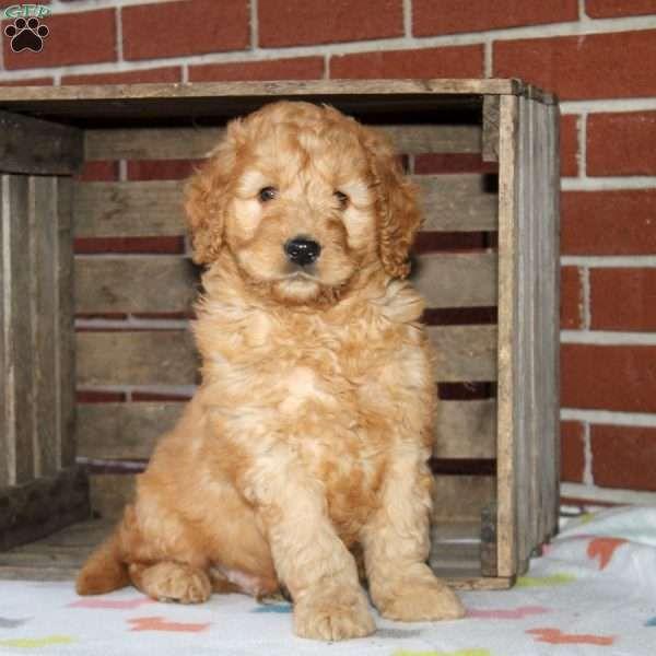 Patrick, Goldendoodle-Miniature Puppy | Lifestyle