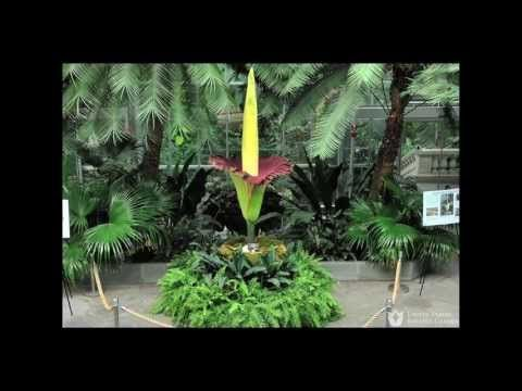 Titan Arum At The U S Botanic Garden Time Lapse Of The Blooming Of The Flower Titan Arum Botanical Gardens Corpse Flower