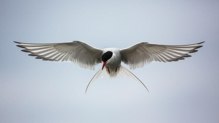 Arctic tern by Yoel Schlaen - Photo 16728647 / 500px