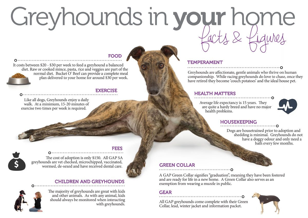 greyhound images   google search my fave dog breeds