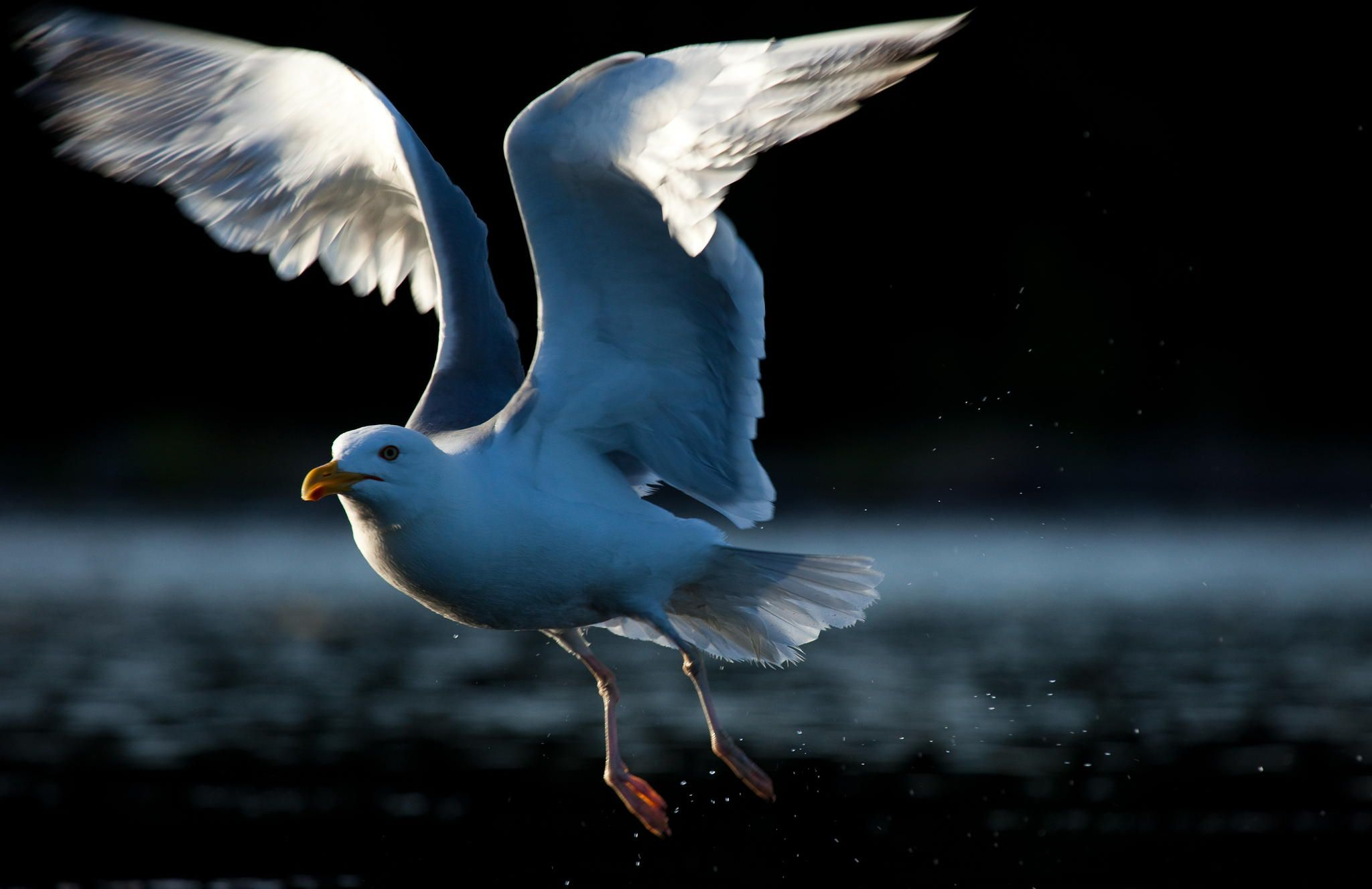 Herring gull by Viktor Andersson on 500px