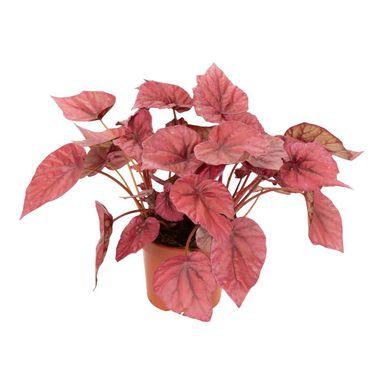Begonia Krolewska Inca Flame 22 Cm Kwiaty Doniczkowe W Atrakcyjnej Cenie W Sklepach Leroy Merlin Begonia Maple Leaf Tattoo Leaf Tattoos