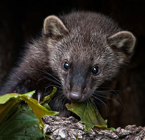 Fisher Martes Pennanti A Baby Playing With Leaves As An Adult