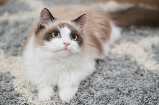 5 Fluffy Cat Breeds Fluffy Cat Breeds Cat Breeds Fluffy Cat